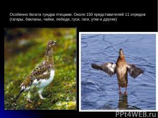 Особенно богата тундра птицами. Около 150 представителей 11 отрядов (гагары, бак