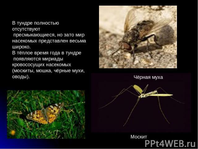 В тундре полностью отсутствуют пресмыкающиеся, но зато мир насекомых представлен весьма широко. В тёплое время года в тундре появляются мириады кровососущих насекомых (москиты, мошка, чёрные мухи, оводы). Москит Чёрная муха