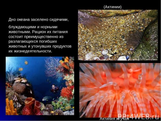 Дно океана заселено сидячими, блуждающими и норными животными. Рацион их питания состоит преимущественно из разлагающихся погибших животных и утонувших продуктов их жизнедеятельности. (Актинии) Актиния жгучая