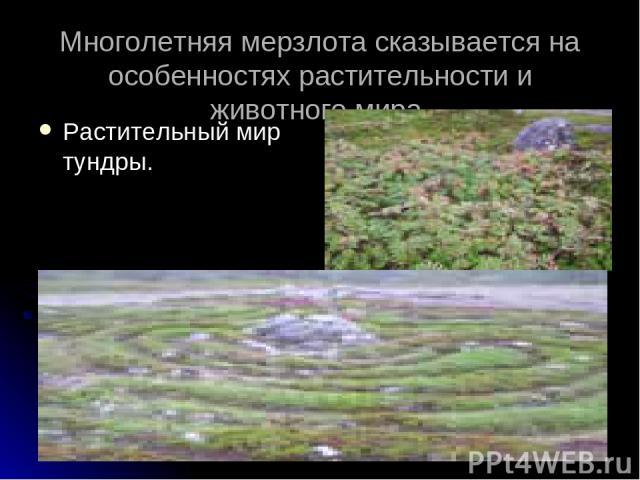 Многолетняя мерзлота сказывается на особенностях растительности и животного мира. Растительный мир тундры.