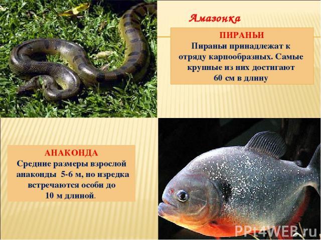 АНАКОНДА Средние размеры взрослой анаконды 5-6 м, но изредка встречаются особи до 10 м длиной. ПИРАНЬИ Пираньи принадлежат к отряду карпообразных. Самые крупные из них достигают 60 см в длину Амазонка