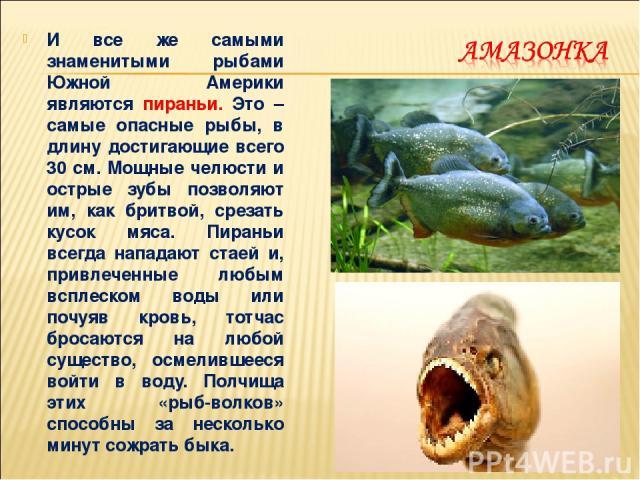 И все же самыми знаменитыми рыбами Южной Америки являются пираньи. Это – самые опасные рыбы, в длину достигающие всего 30 см. Мощные челюсти и острые зубы позволяют им, как бритвой, срезать кусок мяса. Пираньи всегда нападают стаей и, привлеченные л…