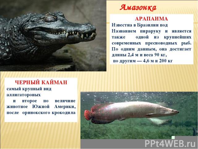 ЧЕРНЫЙ КАЙМАН самый крупный вид аллигаторовых и второе по величине животное Южной Америки, после оринокского крокодила АРАПАИМА Известна в Бразилии под Названием пираруку и является также одной из крупнейших современных пресноводных рыб. По одним да…