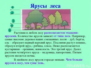 Ярусы леса Растения в любом лесу располагаются этажами- ярусами. Количество ярус
