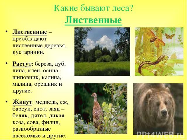 Какие бывают леса? Лиственные Лиственные – преобладают лиственные деревья, кустарники. Растут: береза, дуб, липа, клен, осина, шиповник, калина, малина, орешник и другие. Живут: медведь, еж, барсук, енот, заяц – беляк, дятел, дикая коза, сова, филин…