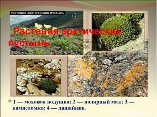 1 — моховая подушка; 2 — полярный мак; 3 — камнеломка; 4 — лишайник. Растения ар
