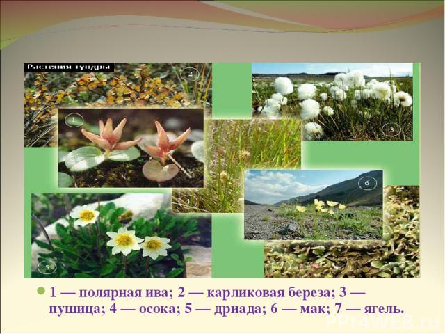 Растения тундры 1 — полярная ива; 2 — карликовая береза; 3 — пушица; 4 — осока; 5 — дриада; 6 — мак; 7 — ягель.