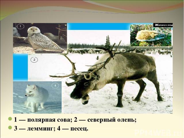 Животные тундры 1 — полярная сова; 2 — северный олень; 3 — лемминг; 4 — песец.