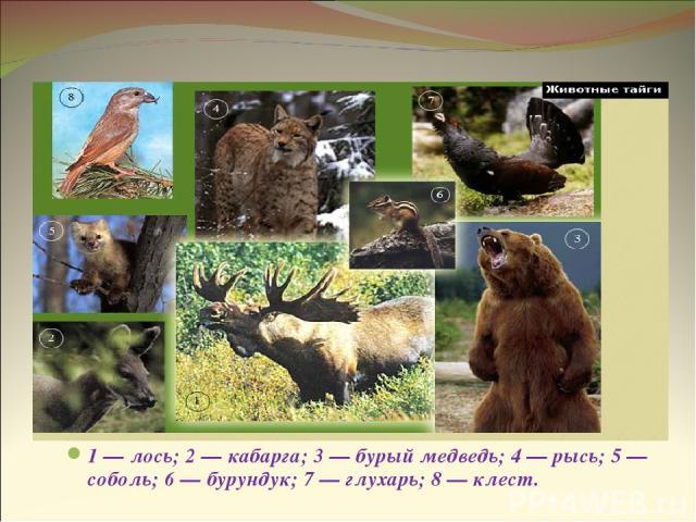 Животные тайги 1 — лось; 2 — кабарга; 3 — бурый медведь; 4 — рысь; 5 — соболь; 6 — бурундук; 7 — глухарь; 8 — клест.