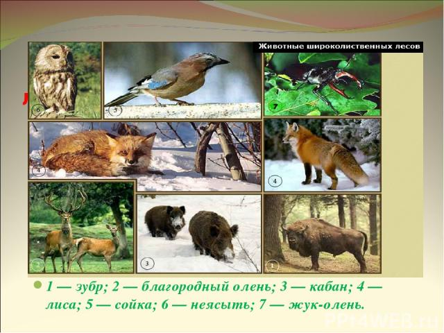 Животные широколиственных лесов 1 — зубр; 2 — благородный олень; 3 — кабан; 4 — лиса; 5 — сойка; 6 — неясыть; 7 — жук-олень.