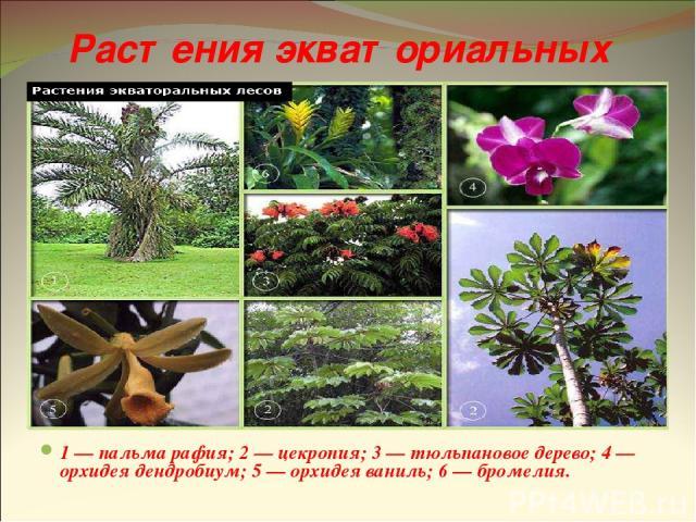 Растения экваториальных лесов 1 — пальма рафия; 2 — цекропия; 3 — тюльпановое дерево; 4 — орхидея дендробиум; 5 — орхидея ваниль; 6 — бромелия.