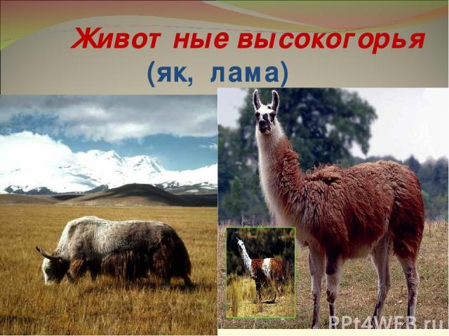 Животные высокогорья (як, лама)