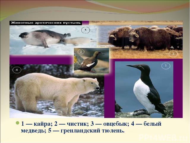 Животные арктических пустынь 1 — кайра; 2 — чистик; 3 — овцебык; 4 — белый медведь; 5 — гренландский тюлень.