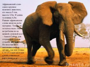 Африканский слон- самое крупное наземное животное, его масса 5 тон, высота 3,5м.