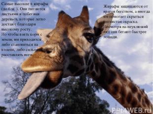Жирафы защищаются от врагов бегством, а иногда им помогает скрыться пятнистая ок