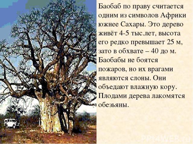 Баобаб по праву считается одним из символов Африки южнее Сахары. Это дерево живёт 4-5 тыс.лет, высота его редко превышает 25 м, зато в обхвате – 40 до м. Баобабы не боятся пожаров, но их врагами являются слоны. Они объедают влажную кору. Плодами дер…