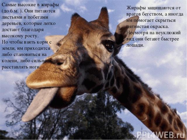 Жирафы защищаются от врагов бегством, а иногда им помогает скрыться пятнистая окраска. Несмотря на неуклюжий вид они бегают быстрее лошади. Самые высокие в жирафы (до 6 м. ). Они питаются листьями и побегами деревьев, которые легко достают благодаря…