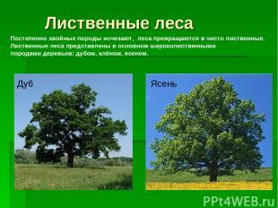 Лиственные леса Постепенно хвойные породы исчезают, леса превращаются в чисто ли