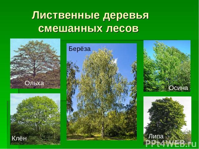 Лиственные деревья смешанных лесов Ольха Клён Берёза Осина Липа