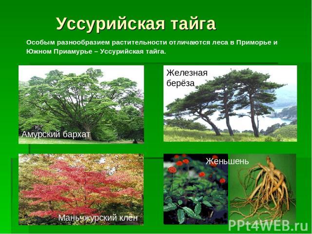 Уссурийская тайга Особым разнообразием растительности отличаются леса в Приморье и Южном Приамурье – Уссурийская тайга. Женьшень Амурский бархат Железная берёза Маньчжурский клён