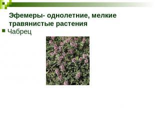 Эфемеры- однолетние, мелкие травянистые растения Чабрец