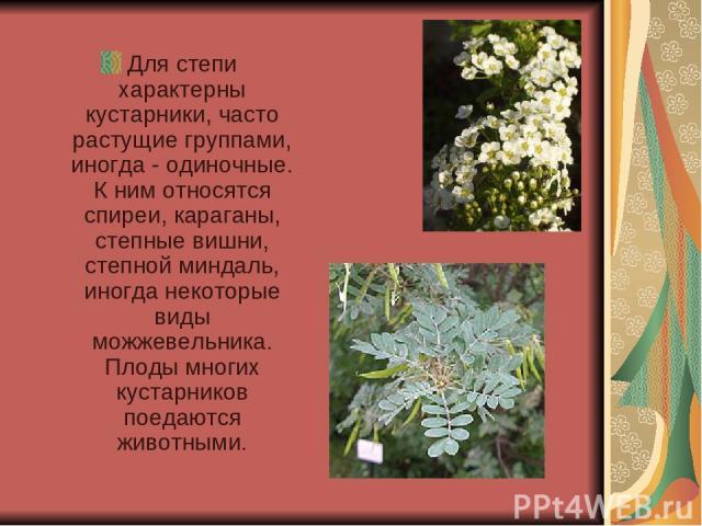 Для степи характерны кустарники, часто растущие группами, иногда - одиночные. К ним относятся спиреи, караганы, степные вишни, степной миндаль, иногда некоторые виды можжевельника. Плоды многих кустарников поедаются животными.