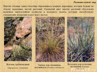 Растительный мир Житняк гребневидный (Agropyron cristatum) Волоснец или колосняк