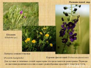 Растительный мир Для луговых и типичных степей характерны эти представители разн