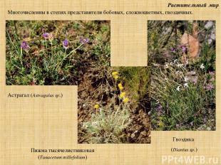 Растительный мир Астрагал (Astragalus sp.) Многочисленны в степях представители