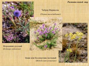 Растительный мир Мордовник русский (Echinops ruthenicus) Чабрец Маршалла (Thymus