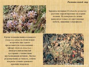 Растительный мир Заразиха песчаная (Orobanche arenaria) – растение паразитирующе