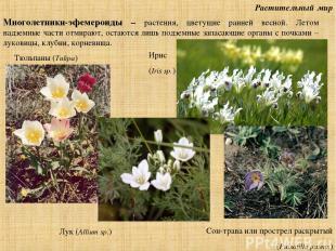Растительный мир Многолетники-эфемероиды – растения, цветущие ранней весной. Лет