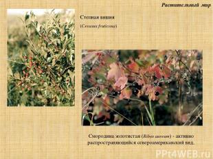 Растительный мир Смородина золотистая (Ribes aureum) - активно распространяющийс