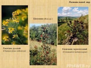 Растительный мир Ракитник русский (Chamaecytisus ruthenicus) Шиповник (Rosa sp.)