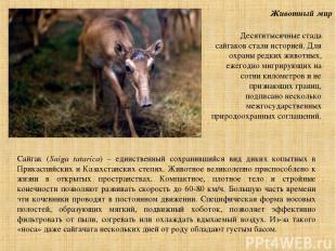Животный мир Сайгак (Saiga tatarica) – единственный сохранившийся вид диких копы