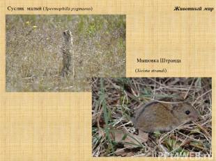 Животный мир Суслик малый (Spermophilis pygmaeus) Мышовка Штранда (Sicista stran