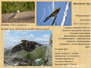 Животный мир Обыкновенная пустельга (Falco tinnunculus) – размах крыльев 65-82 с