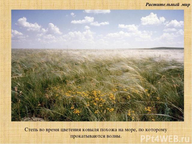 Растительный мир Степь во время цветения ковыля похожа на море, по которому прокатываются волны.