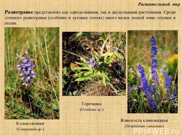 Растительный мир Разнотравье представлено как однодольными, так и двудольными растениями. Среди степного разнотравья (особенно в луговых степях) много видов лесной зоны: опушек и полян. Колокольчики (Campanula sp.) Горечавка (Gentiana sp.) Живокость…