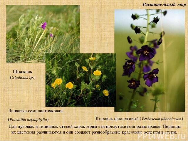 Растительный мир Для луговых и типичных степей характерны эти представители разнотравья. Периоды их цветения различаются и они создают разнообразные красочные аспекты в степи. Шпажник (Gladiolus sp.) Лапчатка семилисточковая (Potentilla heptaphylla)…