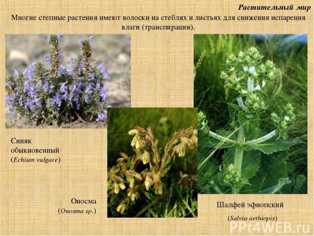 Растительный мир Шалфей эфиопский (Salvia aethiopis) Многие степные растения имеют волоски на стеблях и листьях для снижения испарения влаги (транспирации). Синяк обыкновенный (Echium vulgare) Оносма (Onosma sp.)