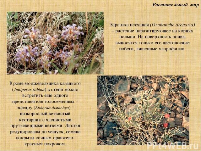 Растительный мир Заразиха песчаная (Orobanche arenaria) – растение паразитирующее на корнях полыни. На поверхность почвы выносятся только его цветоносные побеги, лишенные хлорофилла. Кроме можжевельника казацкого (Juniperus sabina) в степи можно вст…