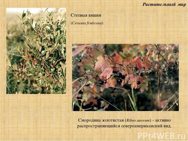 Растительный мир Смородина золотистая (Ribes aureum) - активно распространяющийся североамериканский вид. Степная вишня (Cerasus fruticosa)