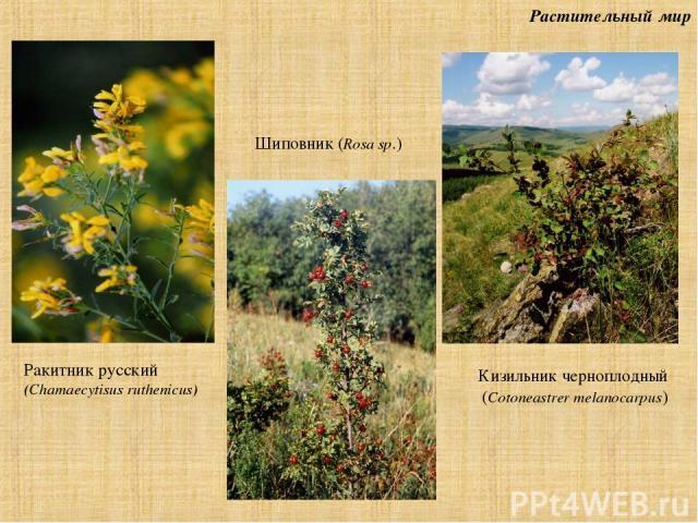Растительный мир Ракитник русский (Chamaecytisus ruthenicus) Шиповник (Rosa sp.) Кизильник черноплодный (Cotoneastrer melanocarpus)