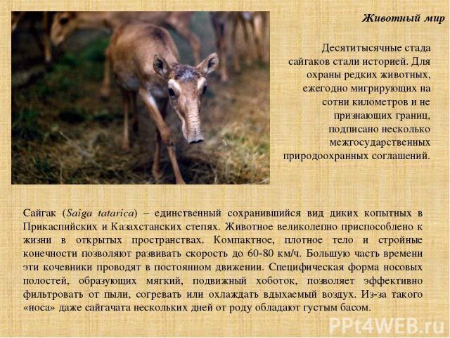 Животный мир Сайгак (Saiga tatarica) – единственный сохранившийся вид диких копытных в Прикаспийских и Казахстанских степях. Животное великолепно приспособлено к жизни в открытых пространствах. Компактное, плотное тело и стройные конечности позволяю…