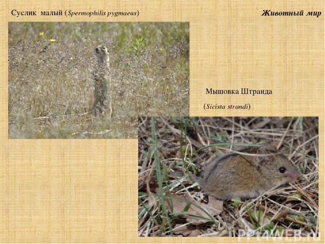 Животный мир Суслик малый (Spermophilis pygmaeus) Мышовка Штранда (Sicista strandi)