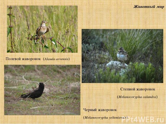Животный мир Перепел, куропатка, жаворонки, удод Полевой жаворонок (Alauda arvensis) Черный жаворонок (Melanocorypha yeltoniensis) Степной жаворонок (Melanocorypha calandra)