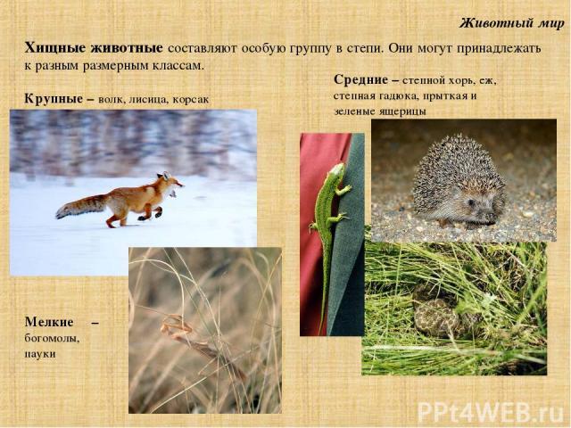 Животный мир Хищные животные составляют особую группу в степи. Они могут принадлежать к разным размерным классам. Крупные – волк, лисица, корсак Мелкие – богомолы, пауки Средние – степной хорь, еж, степная гадюка, прыткая и зеленые ящерицы