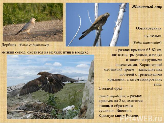 Животный мир Обыкновенная пустельга (Falco tinnunculus) – размах крыльев 65-82 см, питается грызунами, изредка птицами и крупными насекомыми. Характерный охотничий прием – зависание над добычей с трепещущими крыльями, а затем пикирование вниз. Степн…