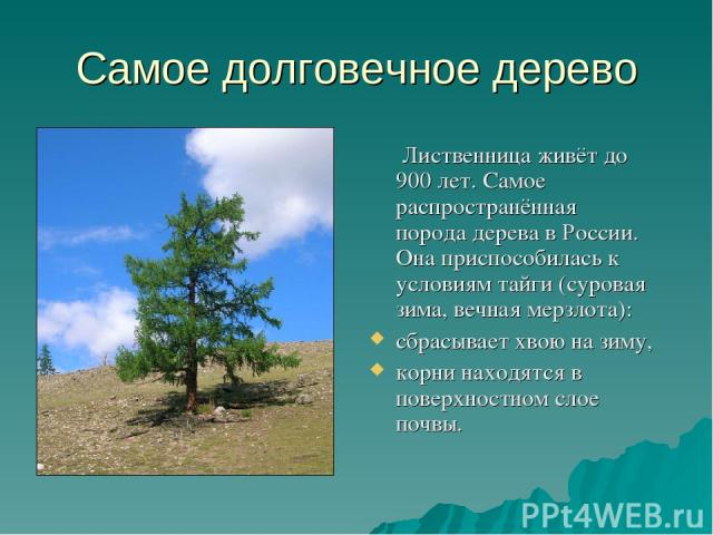 Самое долговечное дерево Лиственница живёт до 900 лет. Самое распространённая порода дерева в России. Она приспособилась к условиям тайги (суровая зима, вечная мерзлота): сбрасывает хвою на зиму, корни находятся в поверхностном слое почвы.